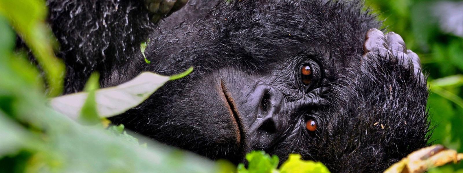 Gorilla Trekking Congo