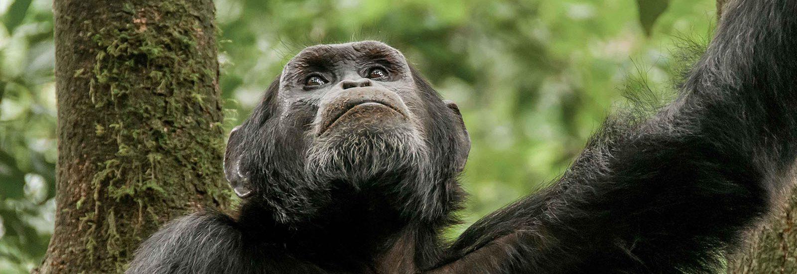Budget Chimpanzee Trekking