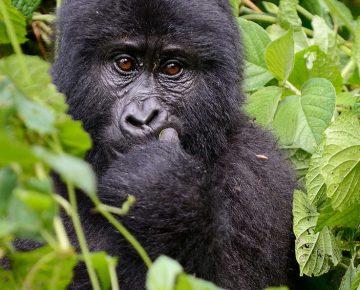 Independent Gorilla Trekking in Uganda