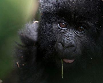 5 Days Bwindi (3 Gorilla Treks)