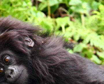 Independent Gorilla Trekking in Rwanda