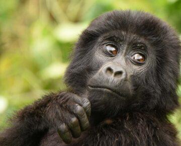Luxury Gorilla Trekking