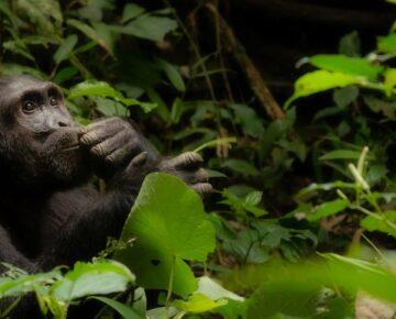 3 Days Uganda Chimpanzee Trekking in Kibale