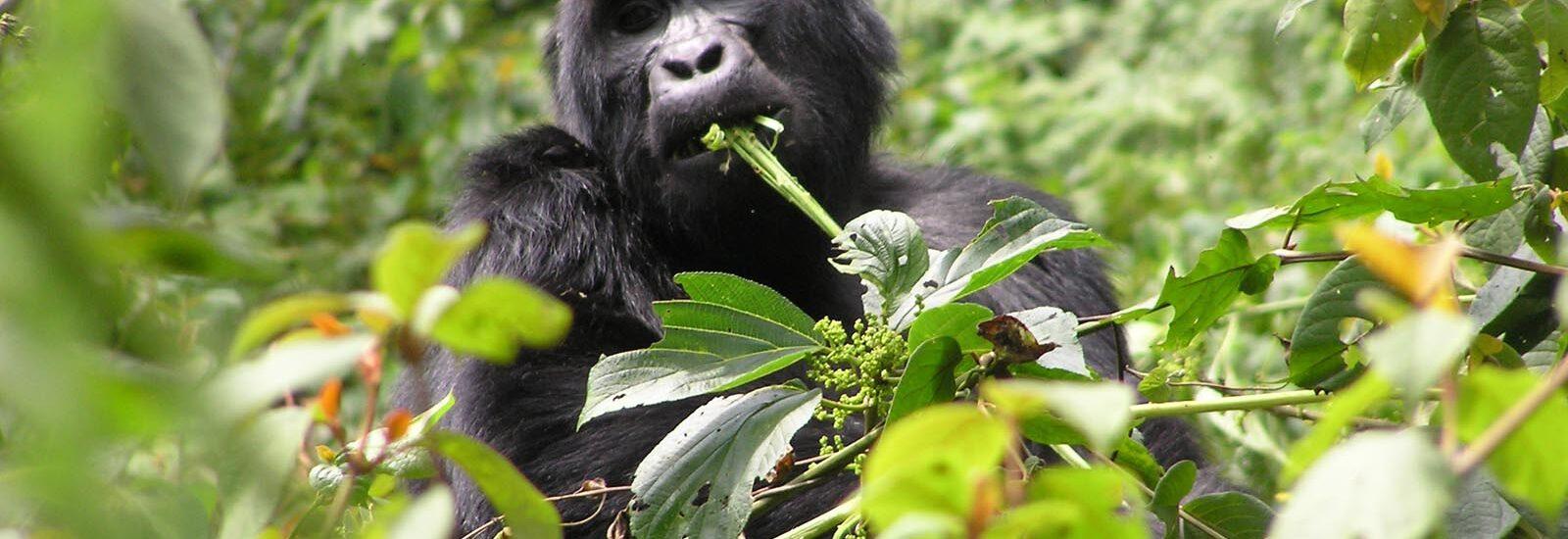 Gorilla Trekking in Uganda from Kigali