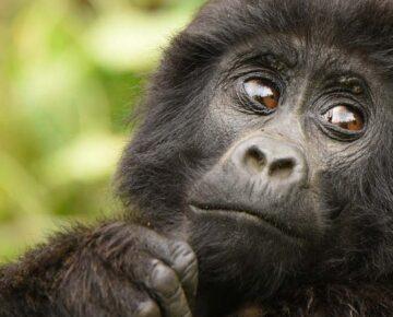 4 Days Rwanda Gorillas & Golden Monkeys Trekking