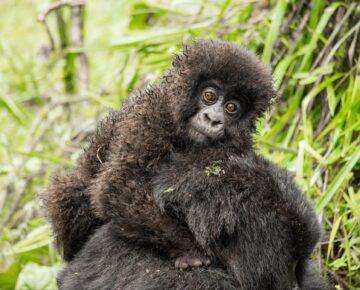 Uganda Gorilla Trekking Permits